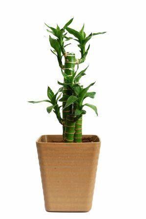 Nurturing Green Cutleaf Bamboo