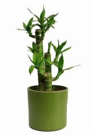Nurturing Green Cutleaf Bamboo Green Pot