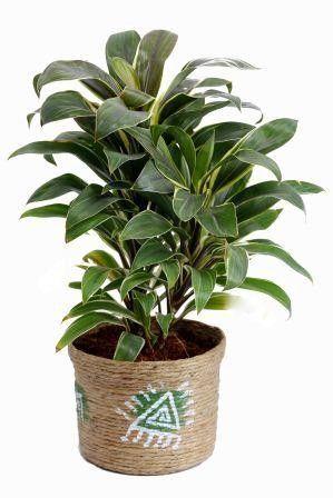 Nurturing Green Cordyline Brown Pot