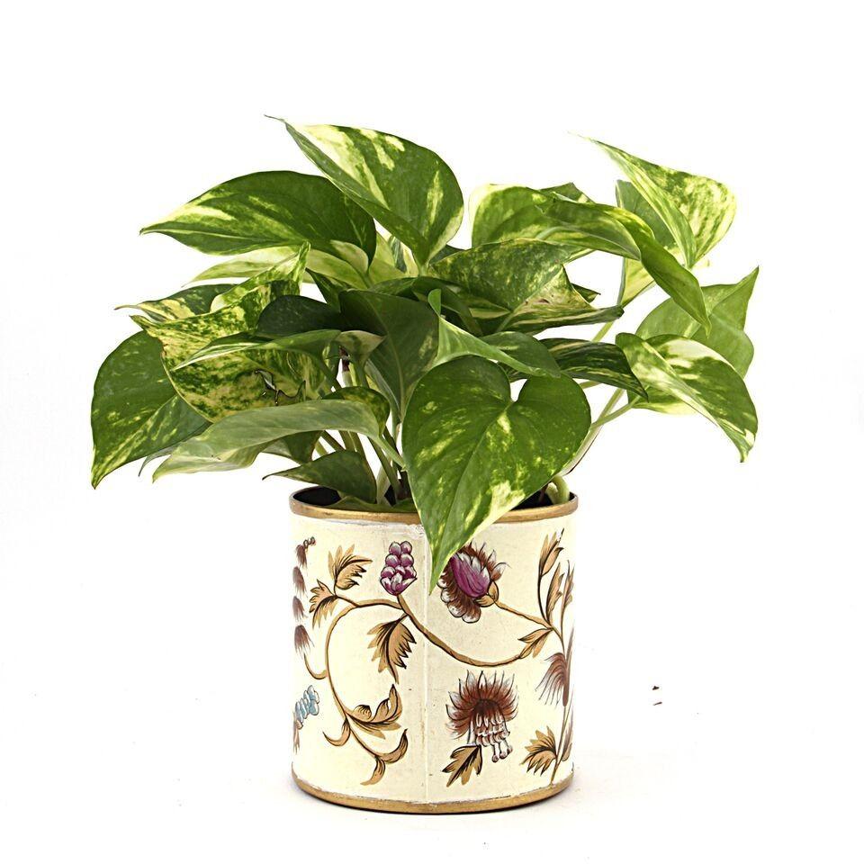Nurturing Green Lusturous Money Plant White