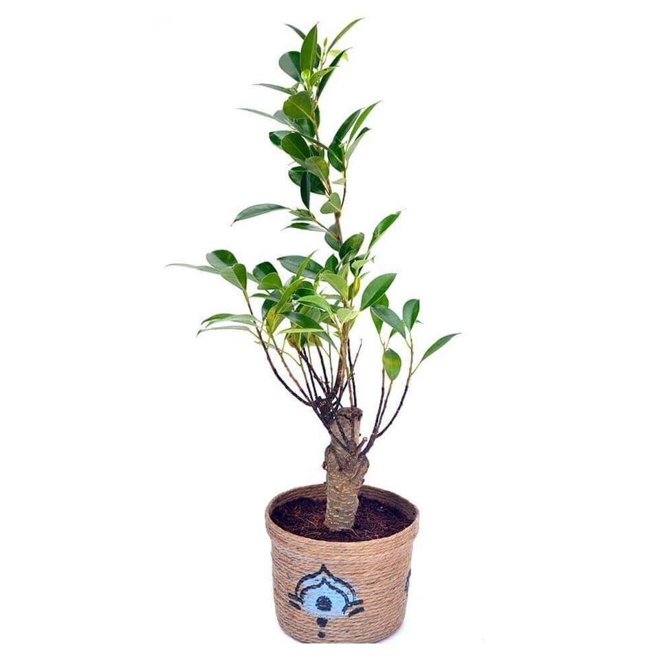 Nurturing Green 3 Years Old I-Shaped Ficus Bonsai Plant