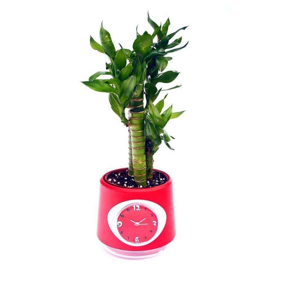 Nurturing Green Clock Pot Cutleaf Lucky Bamboo Plant Red