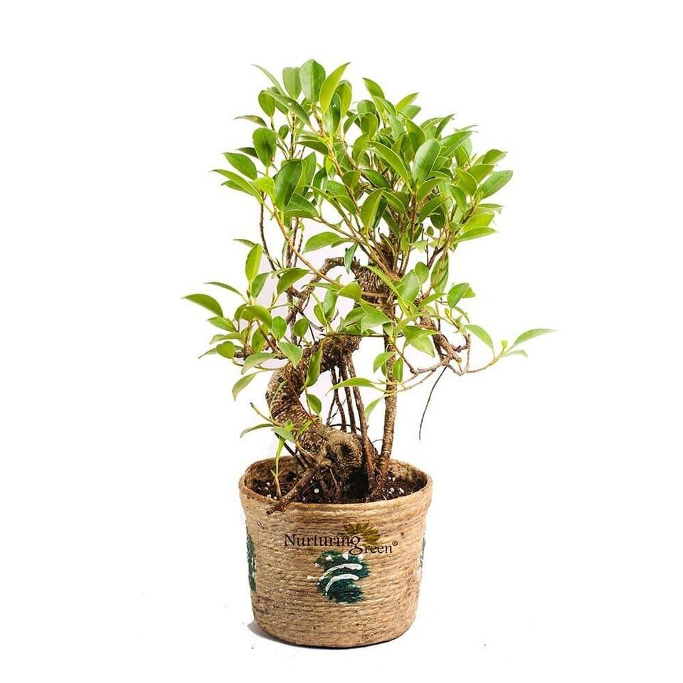 Nurturing Green Caramel 5 Years Old S-Shaped Ficus Bonsai Plant