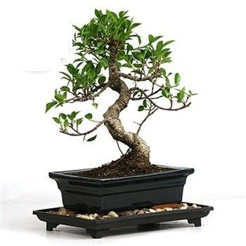 S Shape Ficus 5 Years Old