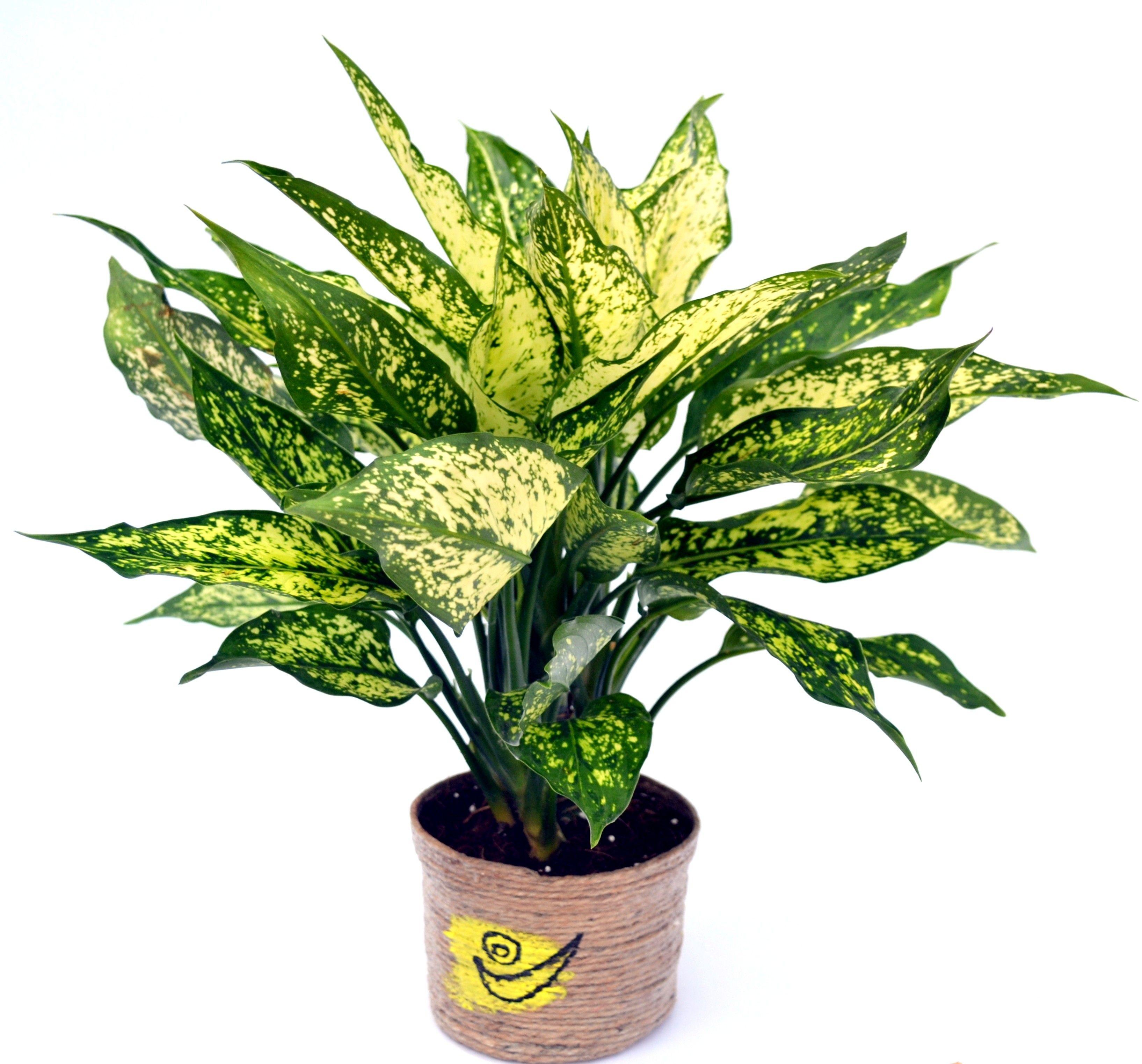 Green Aglonema