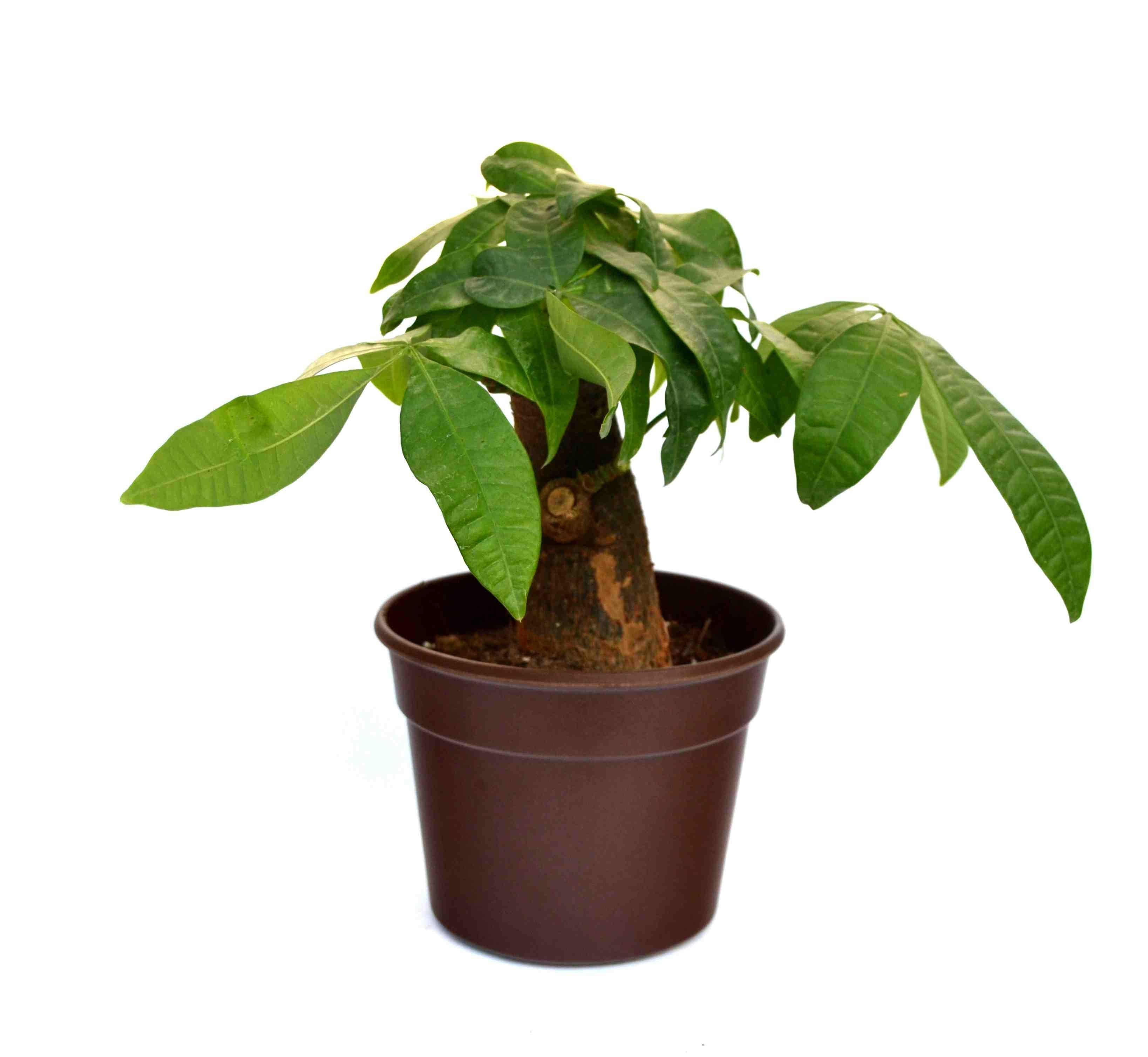 Money Tree Single Dark Brown Fibre Pot