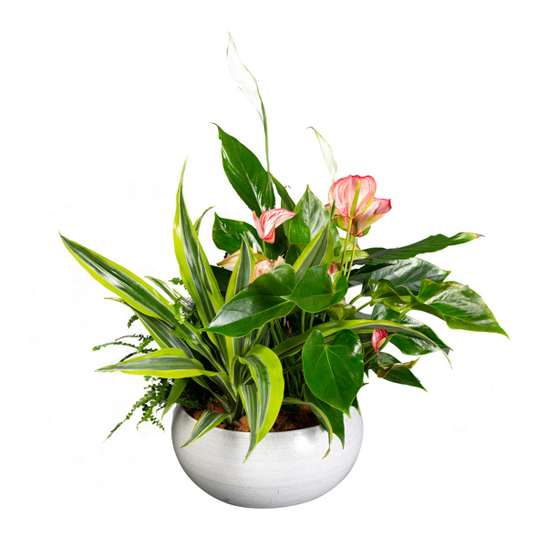 Anthurium Planter