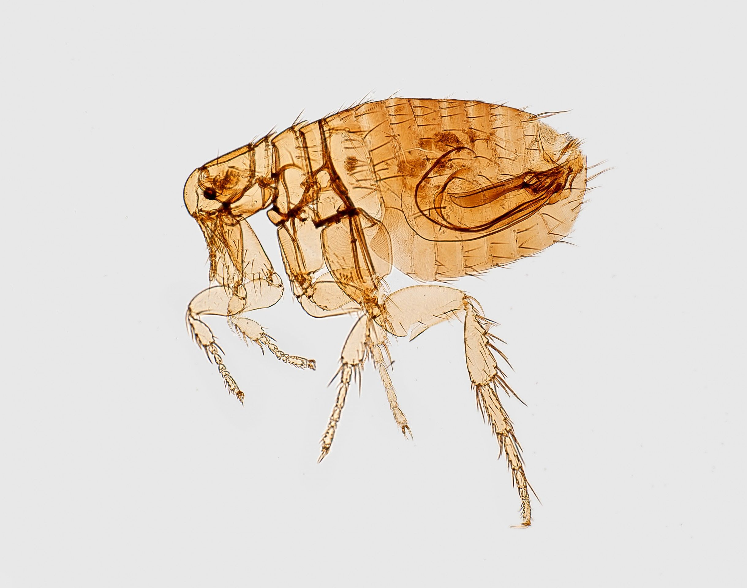 Fleas and other parasites