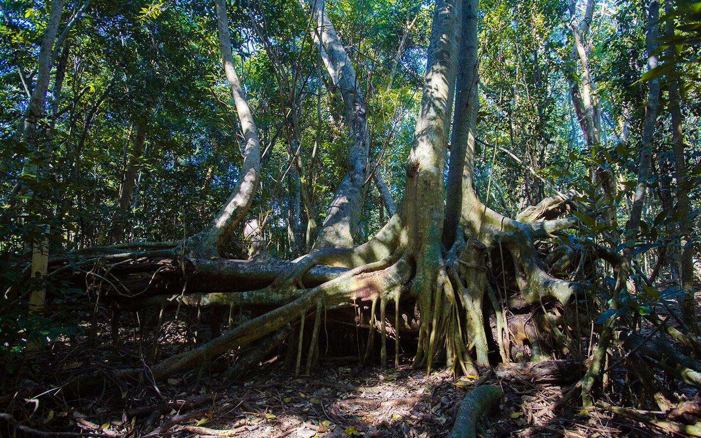 Large Tree Roots at Castellow Hammock Park