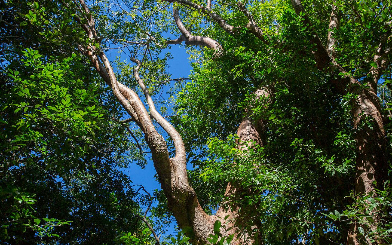 Hammock Trees