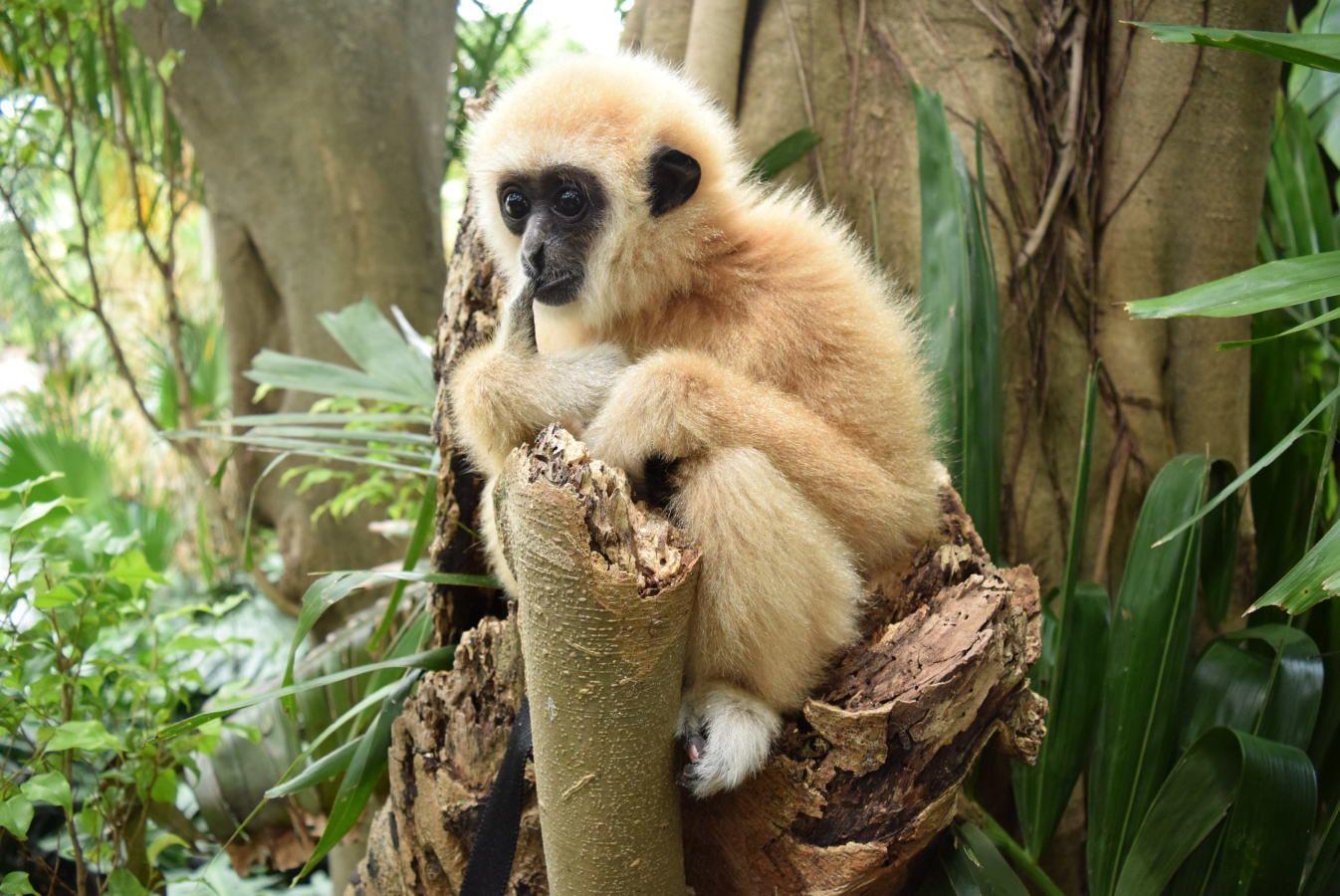 ZWF Baby Gibbon