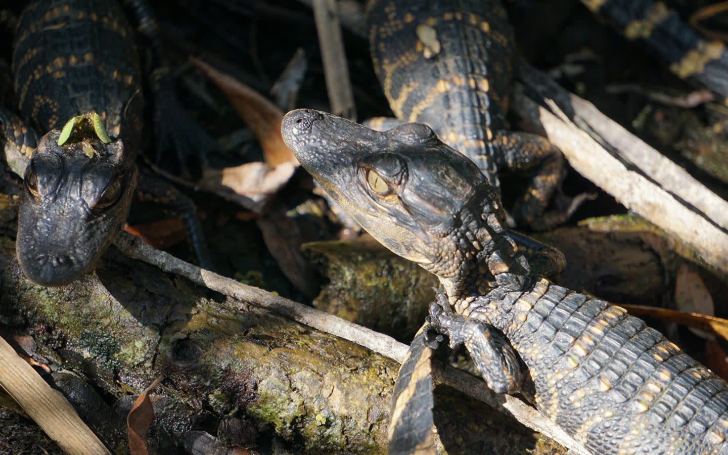 Baby alligators at Everglades National Park