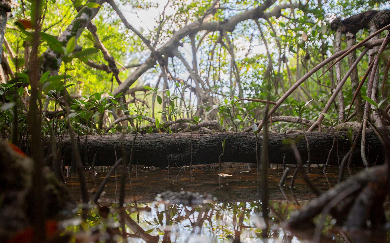 Mangroves at Greynolds Park