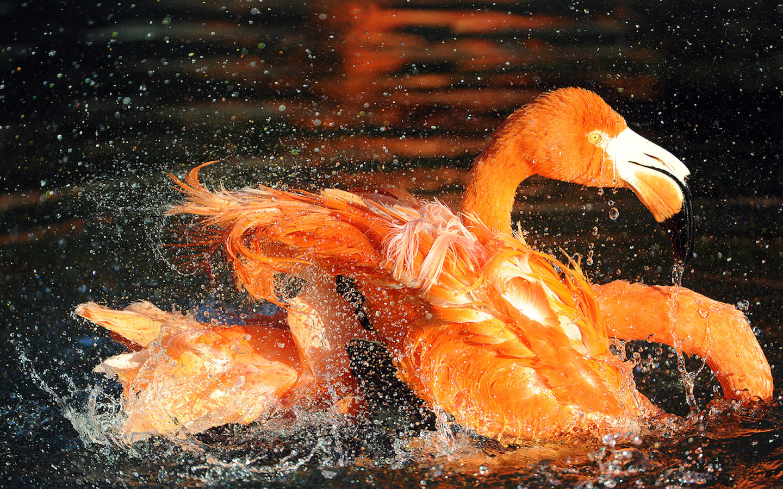 Flamingos bathing