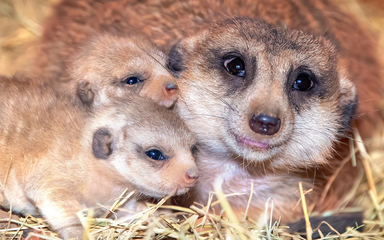 Família dos suricatos