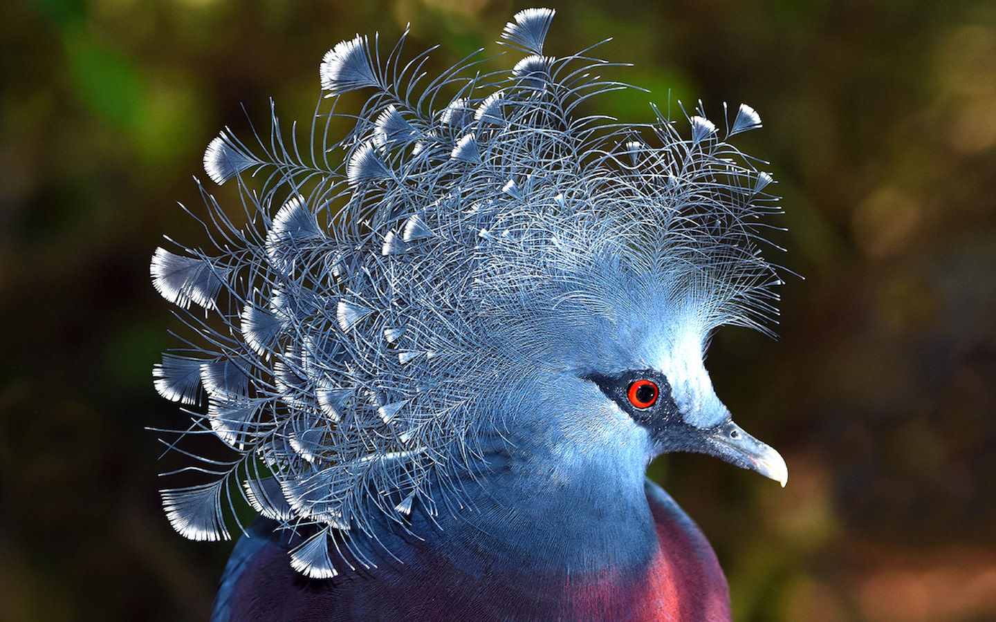 Ron Migalli Crowned Pigeon showing off