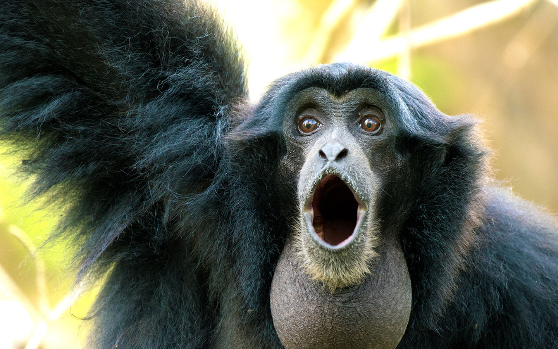 Siamang Primate calling at Zoo Miami