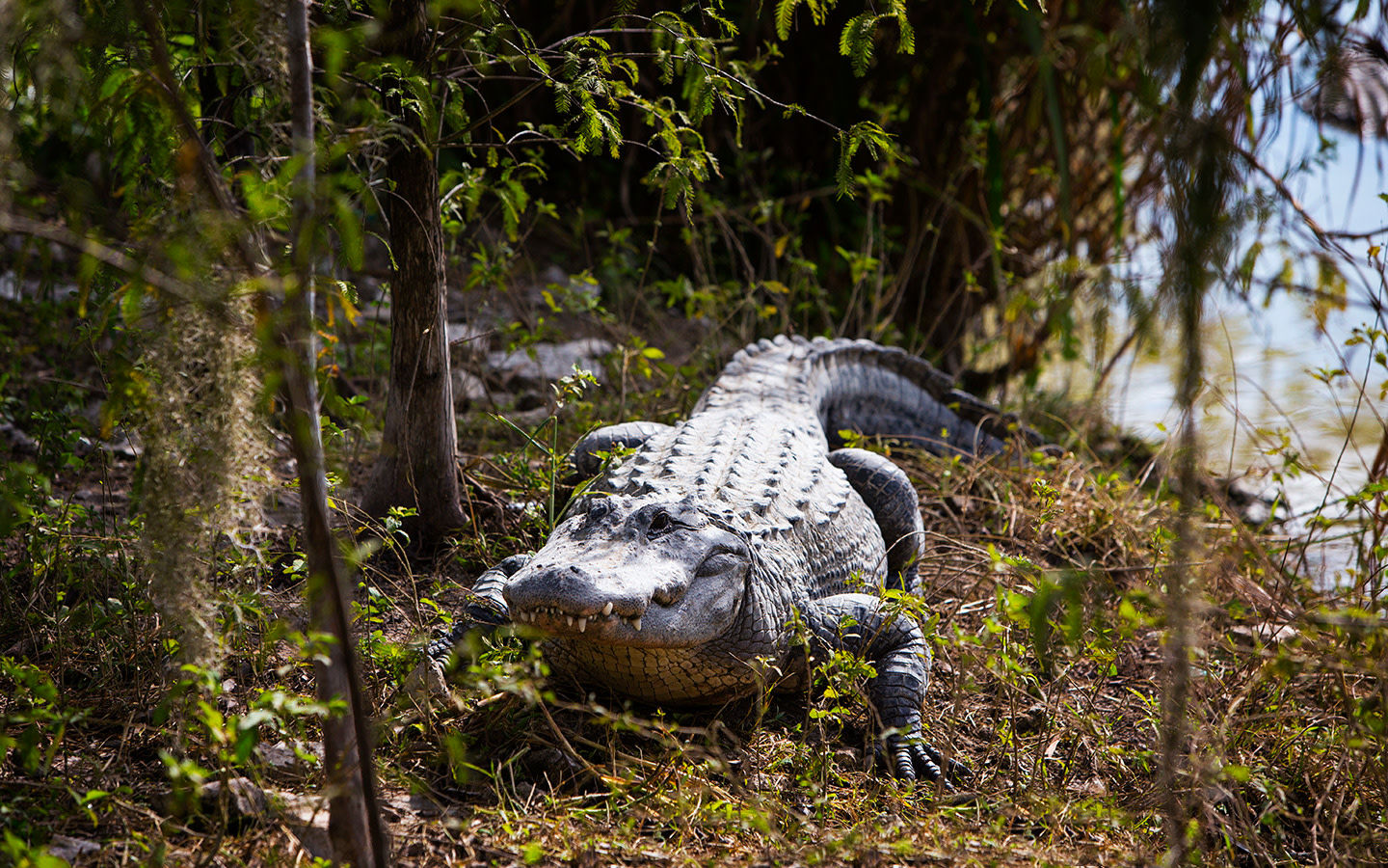 Everglades alligator