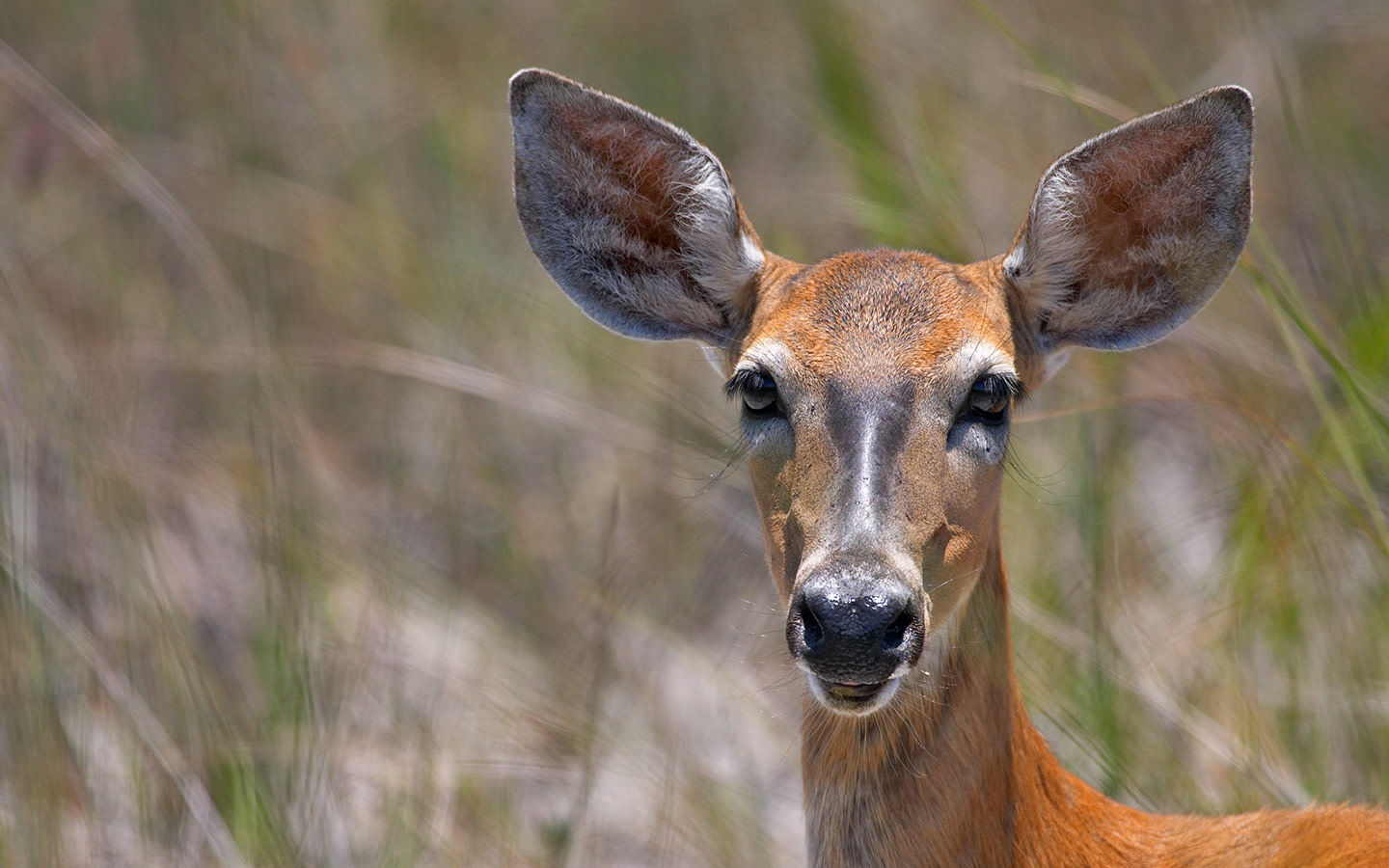 Florida white-tailed deer
