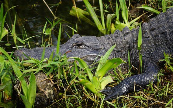 Alligator resting in the grass