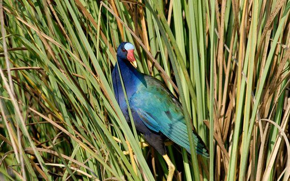 Purple Gallinule also known as a Swamp Chicken