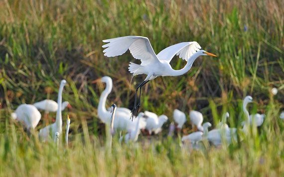 Great White Egrets in the Everglades
