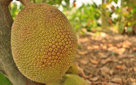 Jackfruit at the Fruit & Spice Park