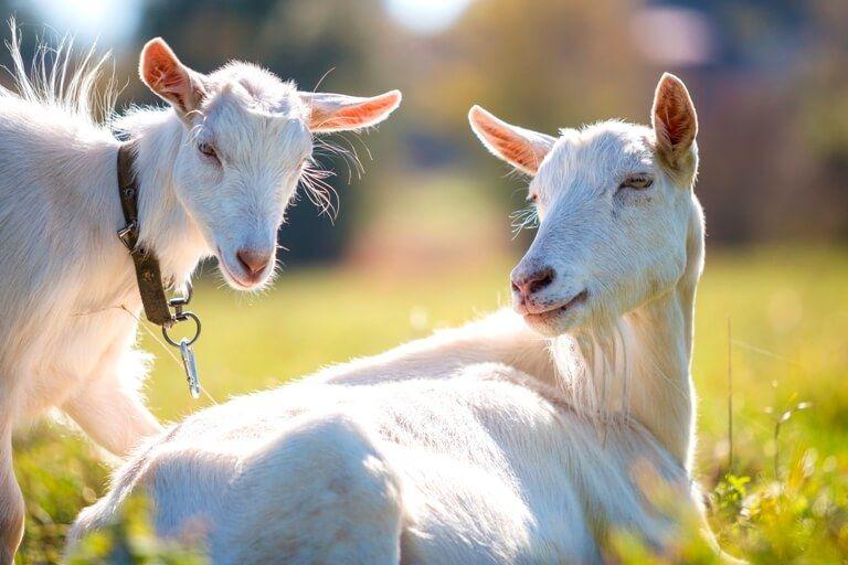Syarat dan ketentuan kambing untuk aqiqah