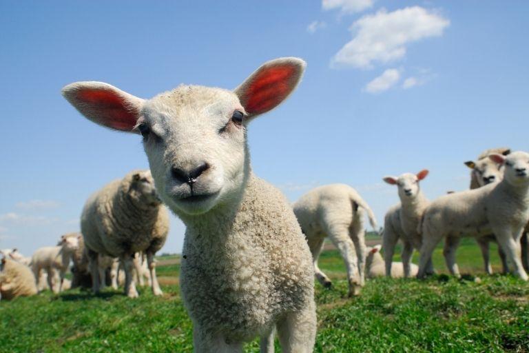 cara memilih kambing aqiqah