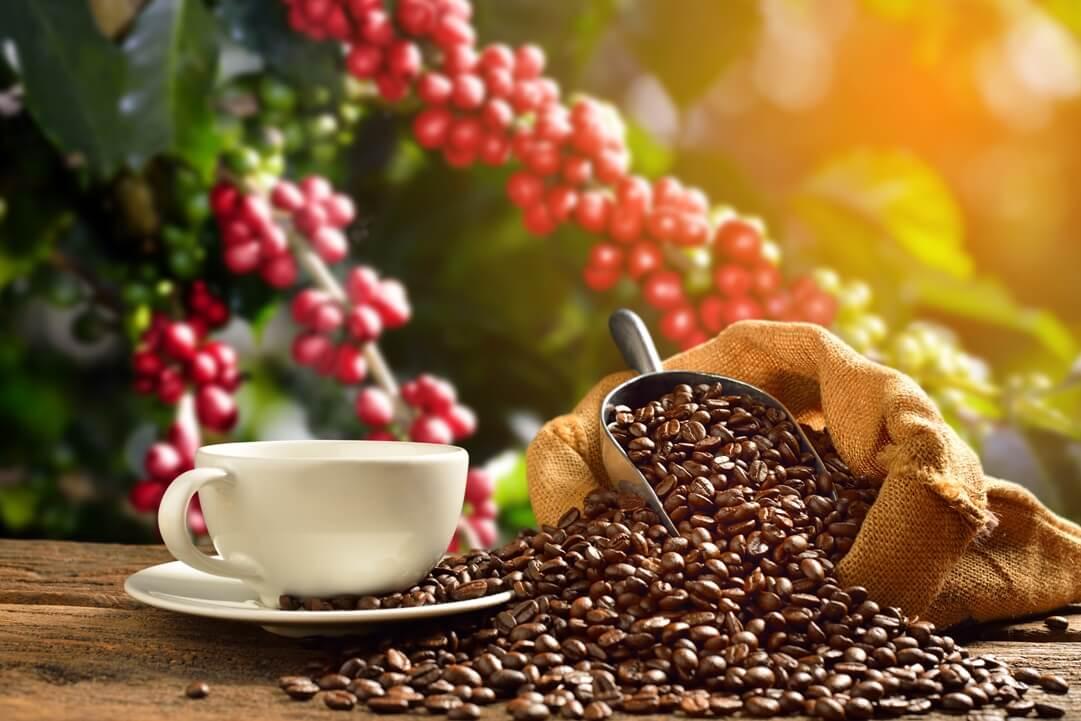 jual kopi arabika