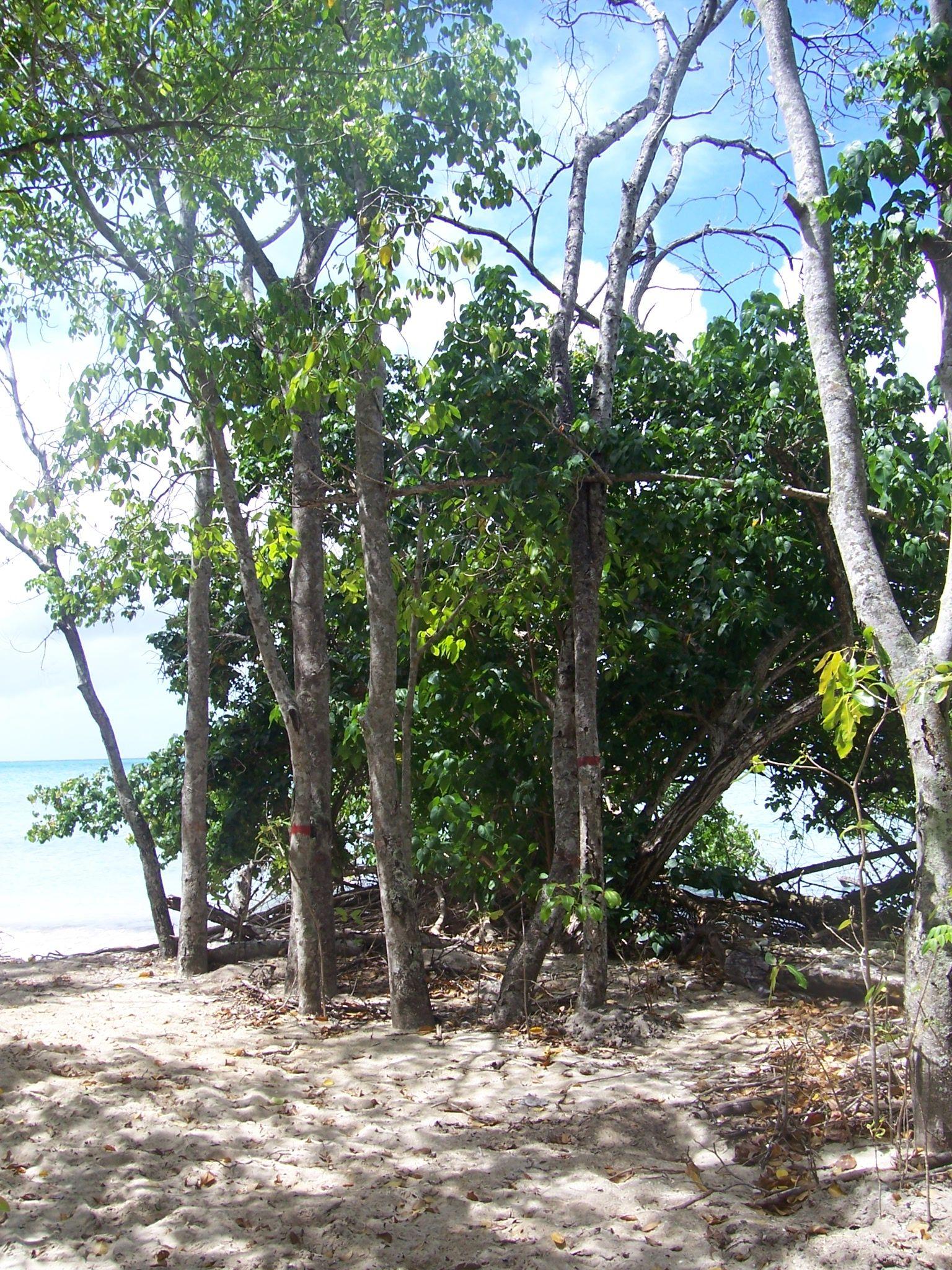 Manchineel deadly tree