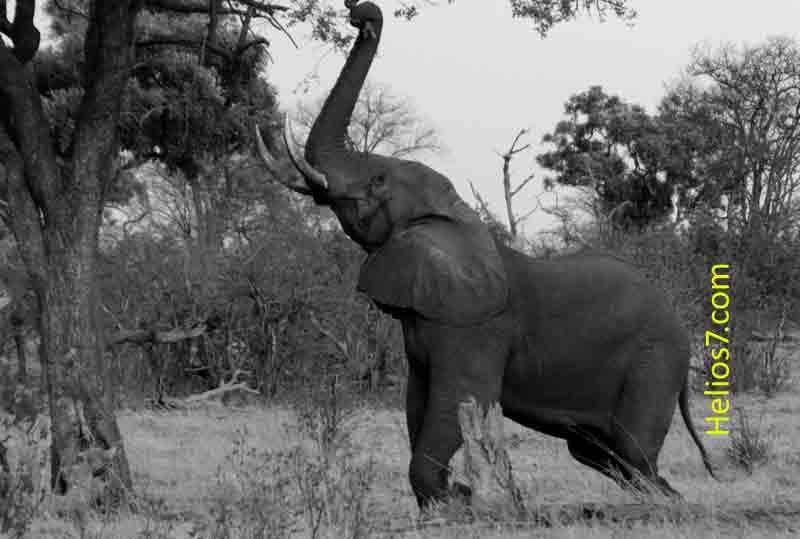 elephants-poaching