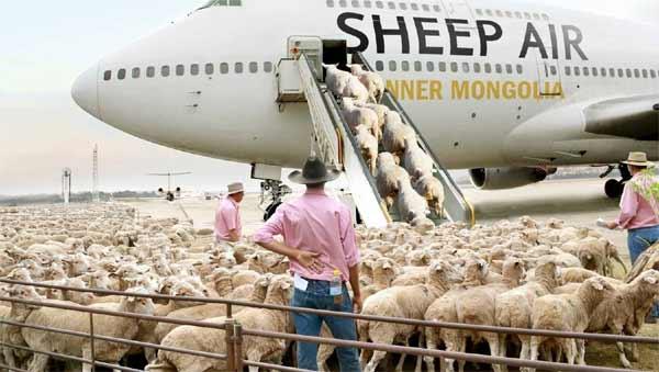 sheep air