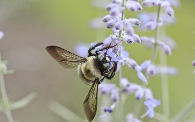 How Botany Twitter and a Bumblebee Rediscovered a Rare Plant