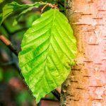 birch leaf pinnate veins