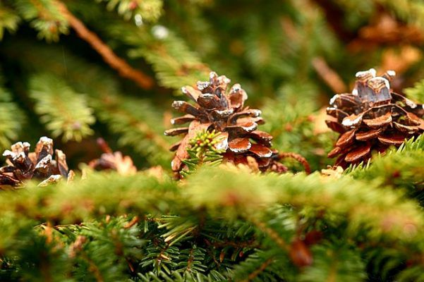 pinecone tree identification pine