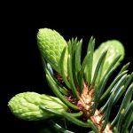 pine needles parallel veins