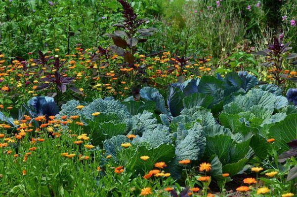 garden flower identification overgrown cabbage