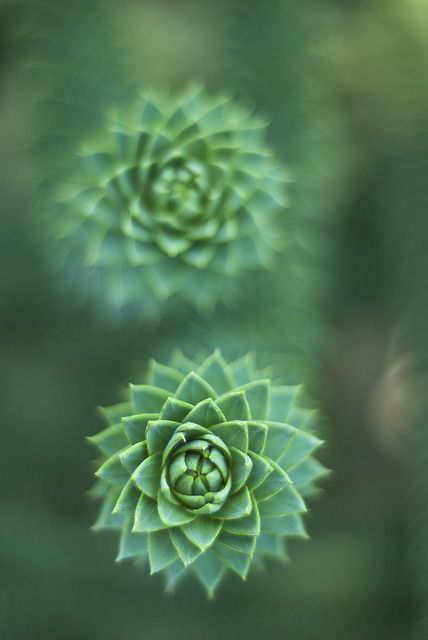 An Example Of A Succulent With Hard Rosette Shaped Leaves Identify Succulents