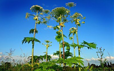 How to Identify Giant Hogweed, the Plant That Can Cause Severe Burns and Blisters