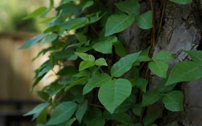 How to Identify, Remove, and Treat Poison Ivy