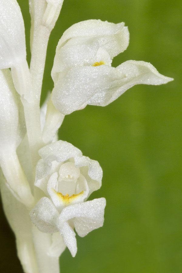 white plant no photosynthesis