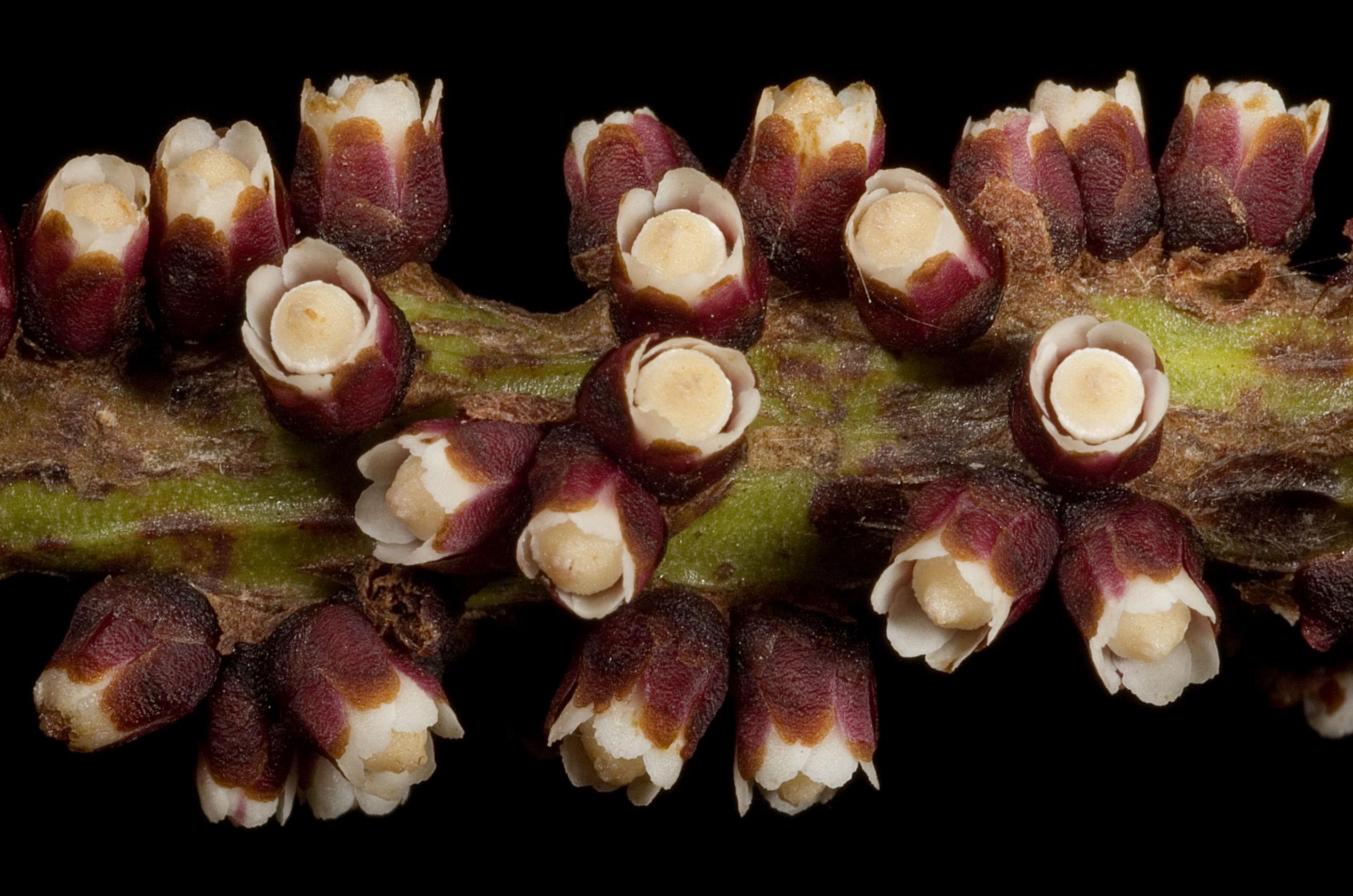 Pilostyles hamiltonii