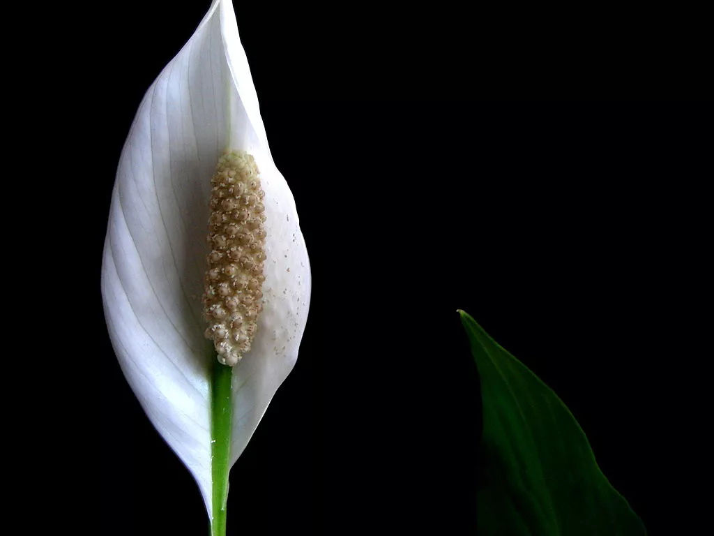 Peace lily flower on black background