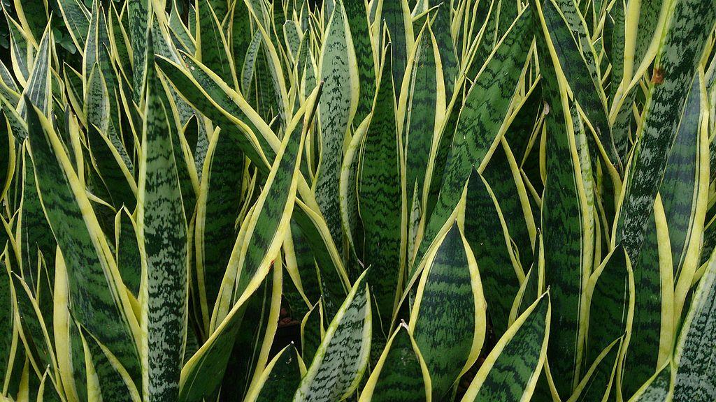 Snake plant