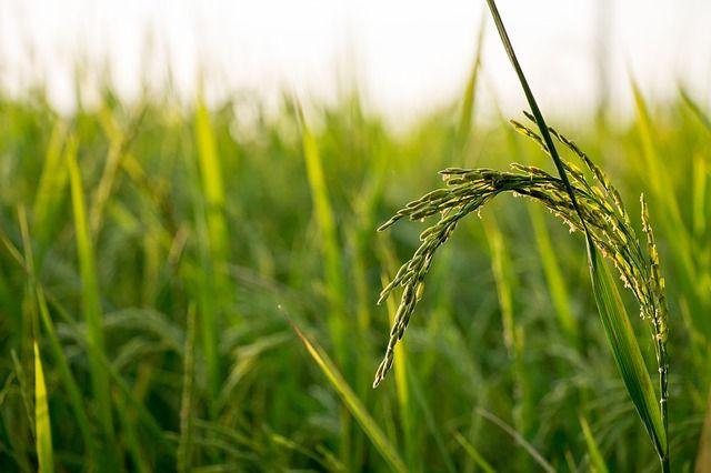 rice heat resistance