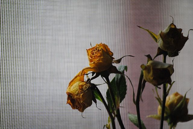 dead rose dying plants