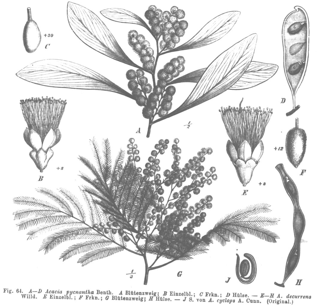 Drawings of various parts of differnt Acacia species.
