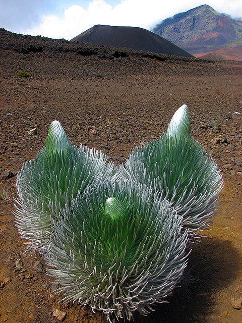 silversword plant hawaii