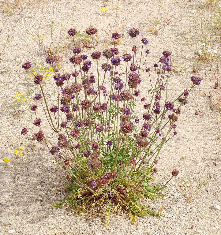 Blooming desert chia with purple clumps of flowers on tall stalks.